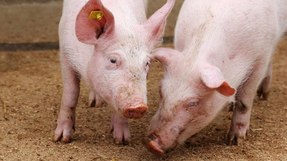 Àrea de Desossa de Porco