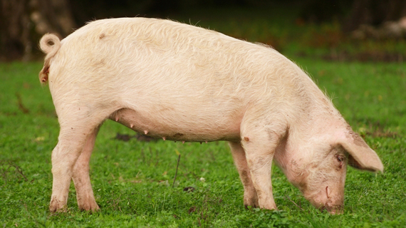 Pork Offal