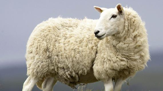 Lamb tripe processor