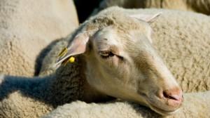 Sheep Offal