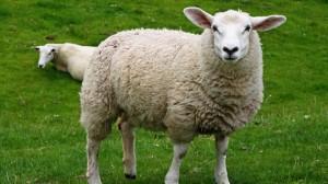 sheep-white offal