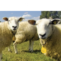 Schafs