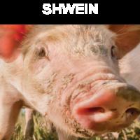 Shwein
